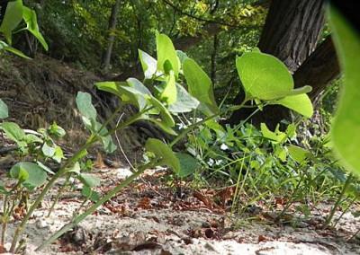8_Aristolochia-nach-Elbhochwasser