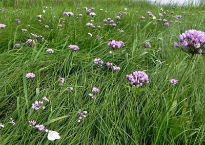 9_Allium-angulosum_nach_Elbhochwasser