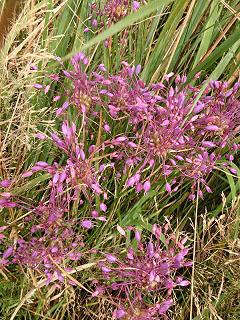 Allium-carinatum
