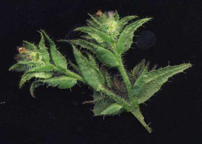 Anchusa arvensis, Acker-Ochsenzunge. H.-H. Poppendieck