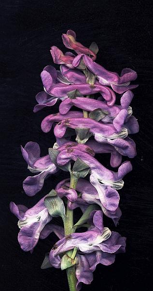 Blütenstand des Hohlen Lerchensporns