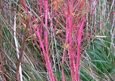 Euphorbia-palustris-Herbst