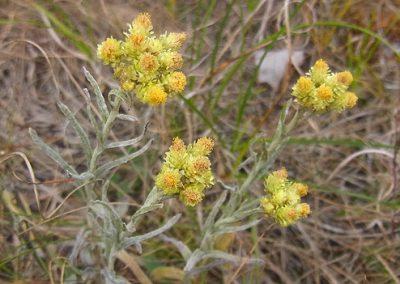 Helichrysum-arenarium