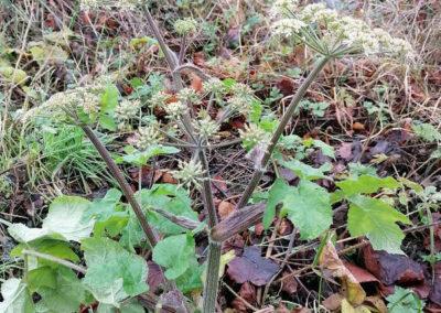 Heracleum sphondylium, Wiesen-Bärenklau. U. Lützen