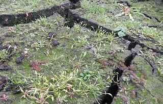 Limosella-aquatica-RHB-Hoeltigbaum