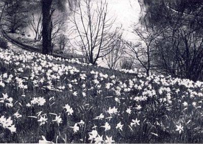 Die Narzissenwiese im Jahr 1959