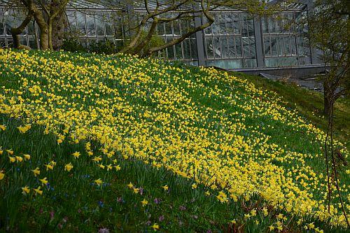 Die Narzissenwiese im Alten Botanischen Garten