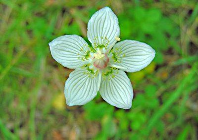 Parnissia-palustris