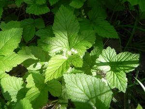 Rubus-saxatilis