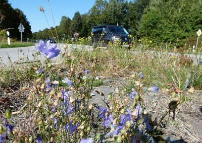 Rundblättrige Glockenblume in Rahlstedt