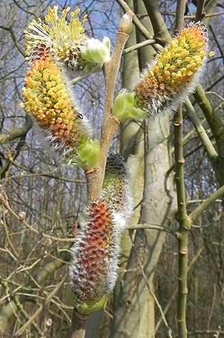 Salix-caprea