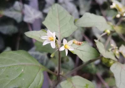 Solanum nigrum, Schwarzer Nachtschatten. Imke Bodendieck