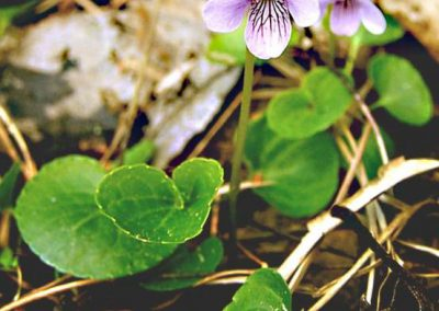 Viola-palustris