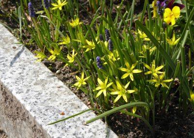Wiesen-Goldstern auf dem Kirchwerder Friedhof