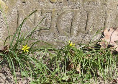 Wiesen-Goldstern auf dem Kirchwerder Friedhof 2018 (jetzt entfernt)