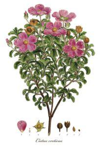 Flora Graeca: Cistus creticus