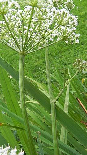 Selinum_carvifolia