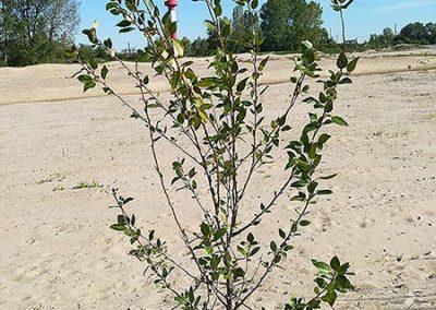Junge Westliche-Balsam-Pappel